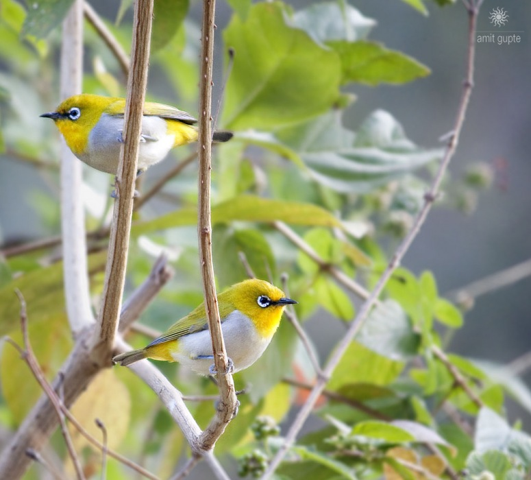 photoblog image Oriental White Eye - Pair